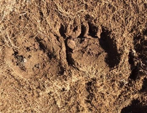 Bear Tracks In the Sespe Wilderness